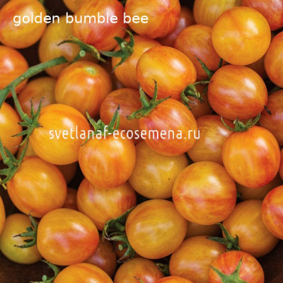 golden bumble-bee