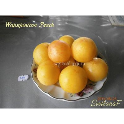 Wapsipinicon Peach (персик Вапсипиникон, Белый персик)
