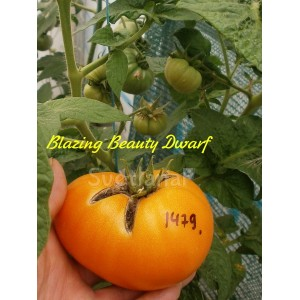 Blazing beauty dwarf