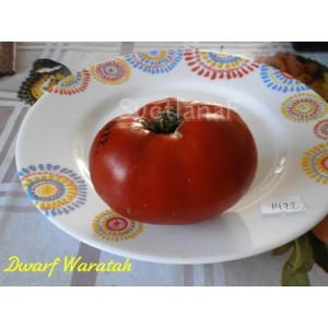 Waratah Dwarf (гном Варатах)
